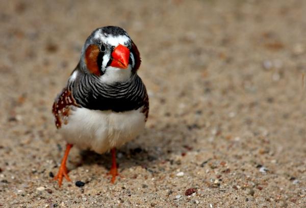 uccello uccelli australia colorato fringuelli