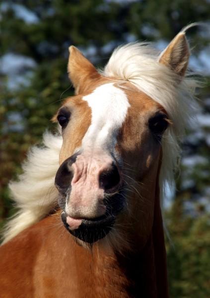 profilo ritratto cavallo stallone castrone ciuffo