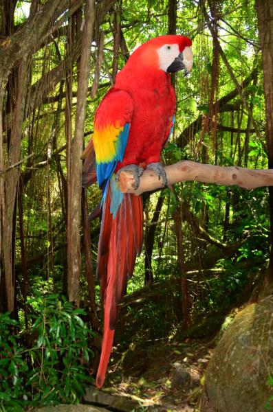 pappagallo di macaw