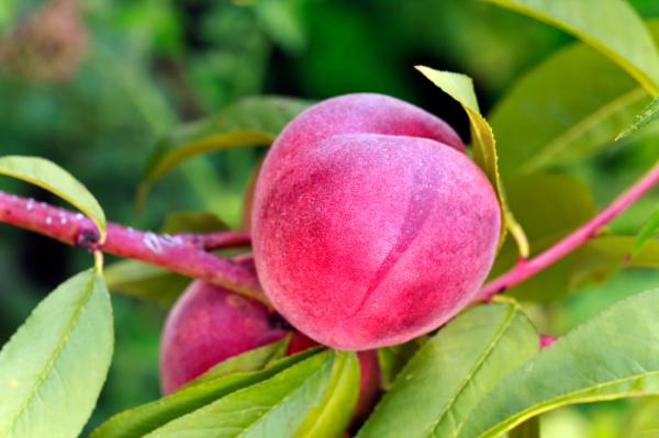 cibo bio albero alberi agricoltura frutta