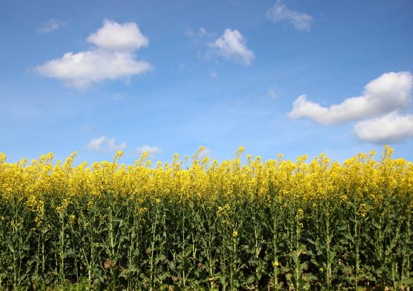 agricoltura fondale di fondo giallo