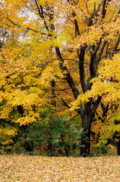 maple albero con le foglie gialle