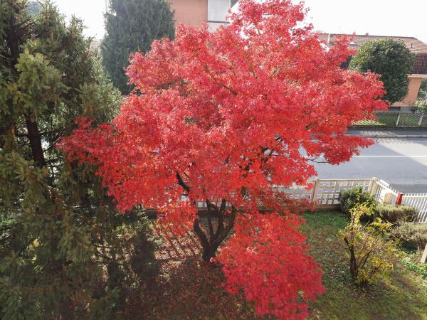 albero rosso acero acer