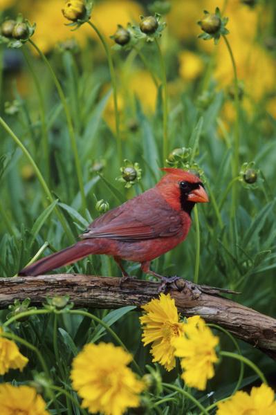 cardinale settentrionale cardinalis cardinalis maschio nel