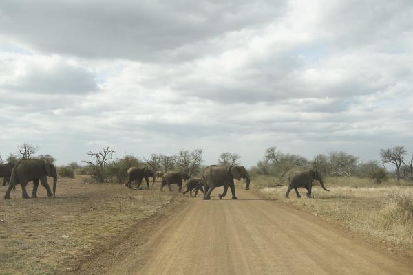 mandrio di elefanti che attraversano la