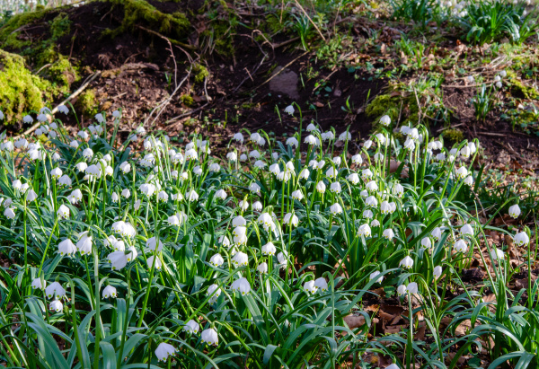 fiore, del, nodo, primaverile, nella, foresta - 28215538