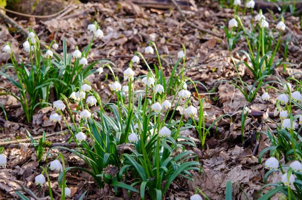 fiore, del, nodo, primaverile, nella, foresta - 28215541