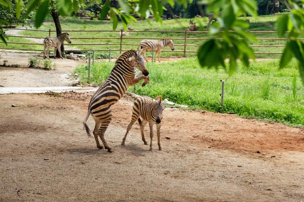 zebre, nella, voliera, dello, zoo - 28216192