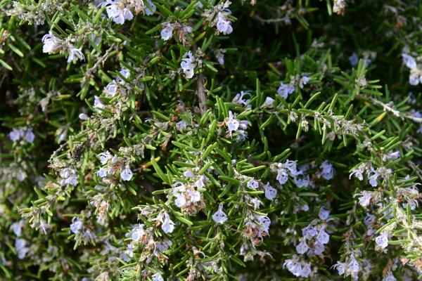 rosmarino, in, fiore, nella, provincia, di - 28217150