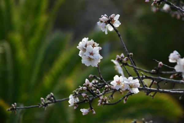 fiori, su, mandorlo, provincia, di, alicante - 28218234