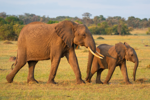 elefante, africano, e, vitello, camminano, attraverso - 28479807