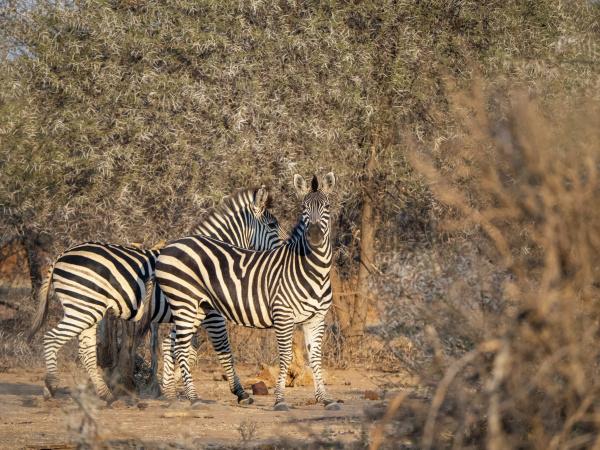 zebre di pianure per adulti