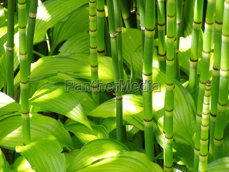 bamboo and hosta