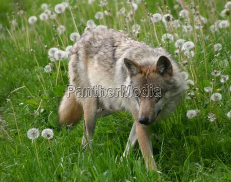 il lupo uno