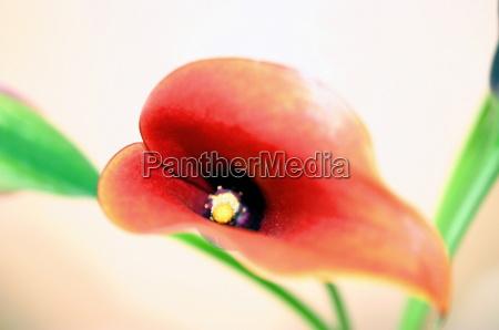 piantare seminare foglie fiore fiori sanguinare