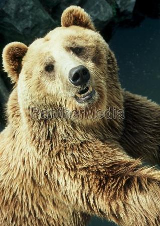 pericolo animale orso marrone denti animali