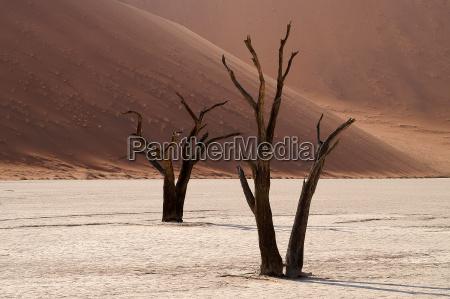 albero deserto legno namibia dune sabbie