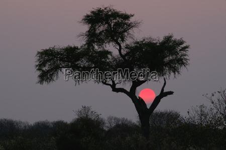 albero deserto tramonto savana botswana rosso