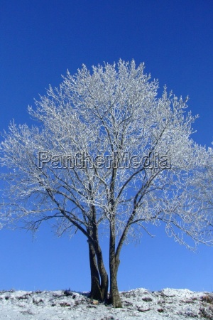 blu albero inverno freddo gelo amaro