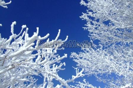 blu albero alberi inverno freddo gelo