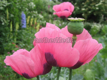 giardino fiori papavero pianta letto giardini