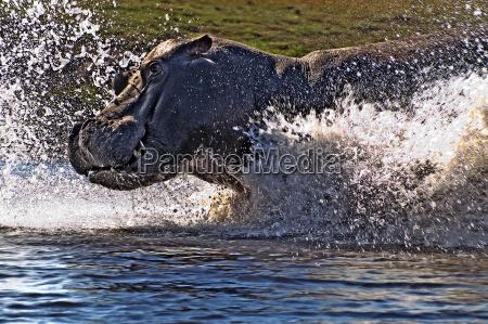 parco nazionale africa schiuma attacco ippopotamo