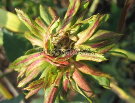 fiore rosa verde rarita viridiflora bengal