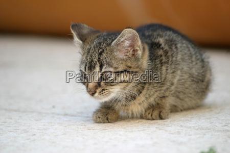 animale domestico curioso gattino cucciolo maldestro