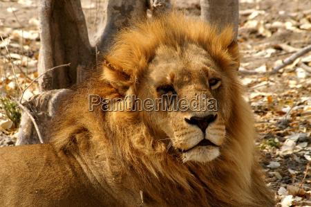 deserto africa leone gatto riserva naturale