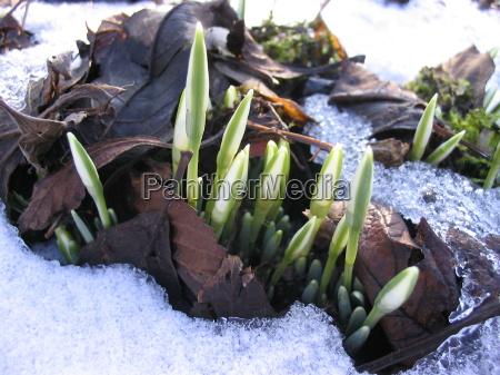 primavera gemme fiore impianto bucaneve fioritura