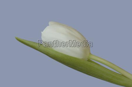 blu fioritura caucasico bianco primavera tulipani