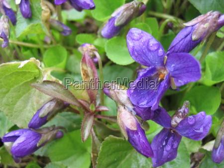 viola fruehlingsblueher veilchenblau wildveilchen fruehlingsboten wildpflanze