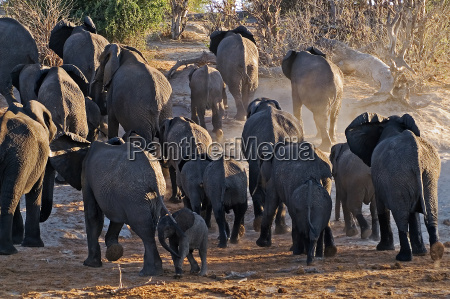 africa elefante polvere elefanti mandria botswana