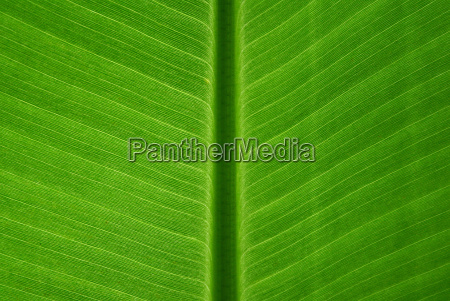 foglia verde banana modello struttura banana