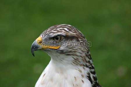 animale uccello fauna uccelli rapace creatura