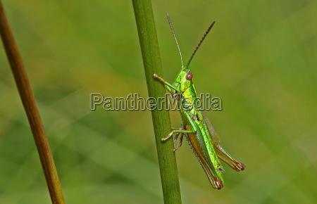 insetto insetti verde cavalletta repubblica ceca