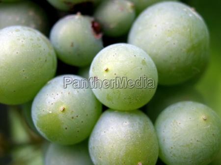 piantare seminare verde alcool vite frutta