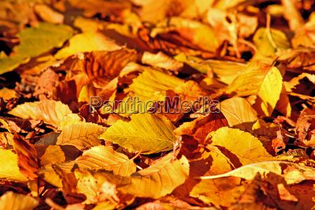 foglia foglie precoce prematuro giallo lascia