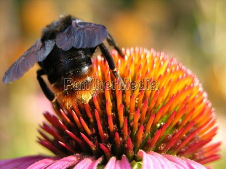 bombo calabrone polline nettare dietro insetto