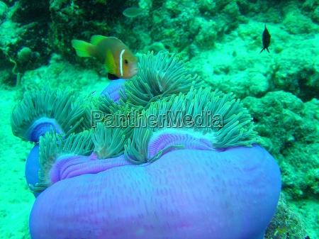 asia pesce colorato piccolo poco breve
