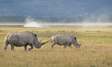 famiglia rhino