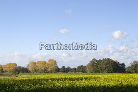 albero alberi verde colza campi prati