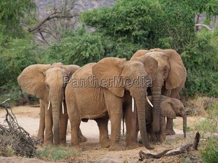 selvaggio africa elefante avorio kenia zanna