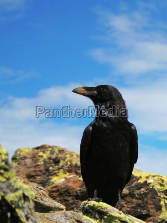 no raven 2