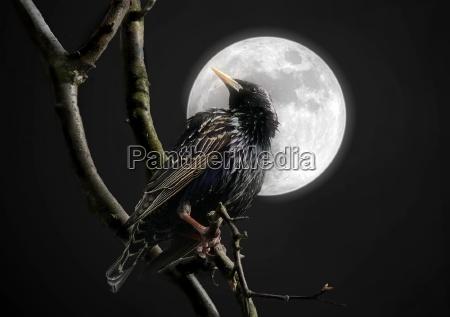 star in the moonlight