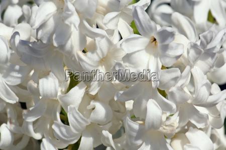 fiore caucasico bianco primavera odore cipolla