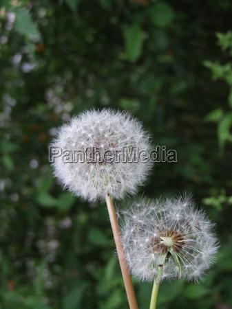 piantare seminare tarassaco asteracee picciuolo picciolo