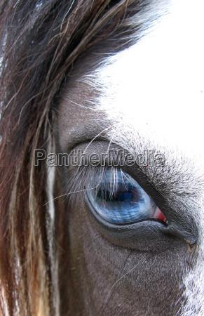 cavallo occhio organo occhi guardare osservare