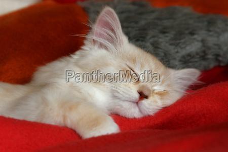 sonno addormentato capellone stanco gattino facilitare