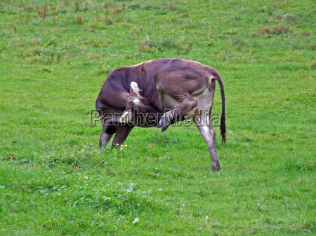 gambe animale verde marrone corno latte